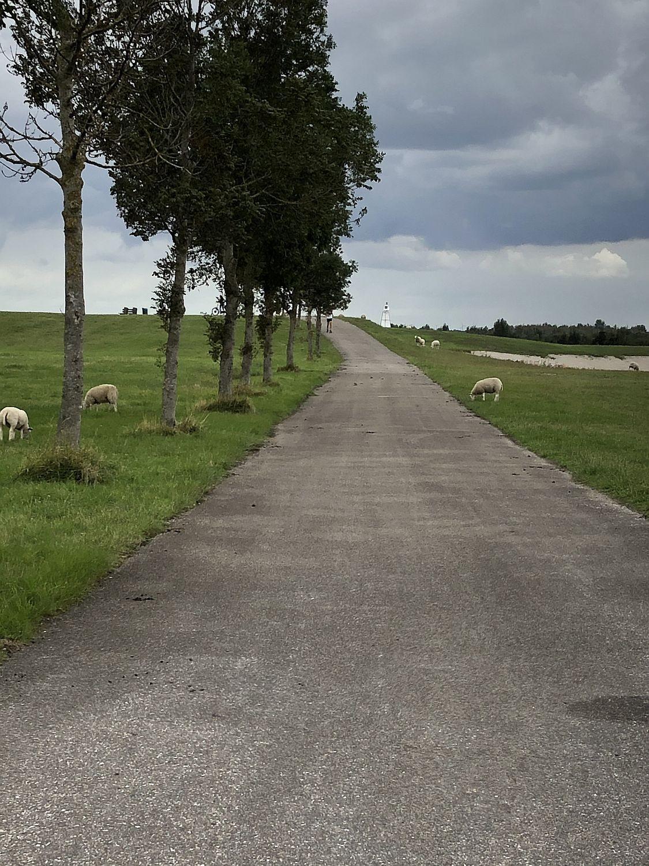 Schafe am Zoommeer Bergen op Zoom