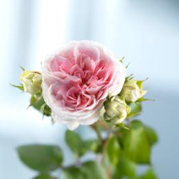 Rose Sophie