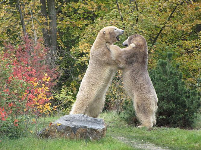 Eisbären im Herbst