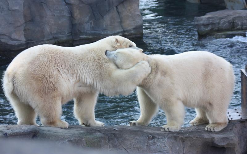 Eisbären Nanuq und Sprinter