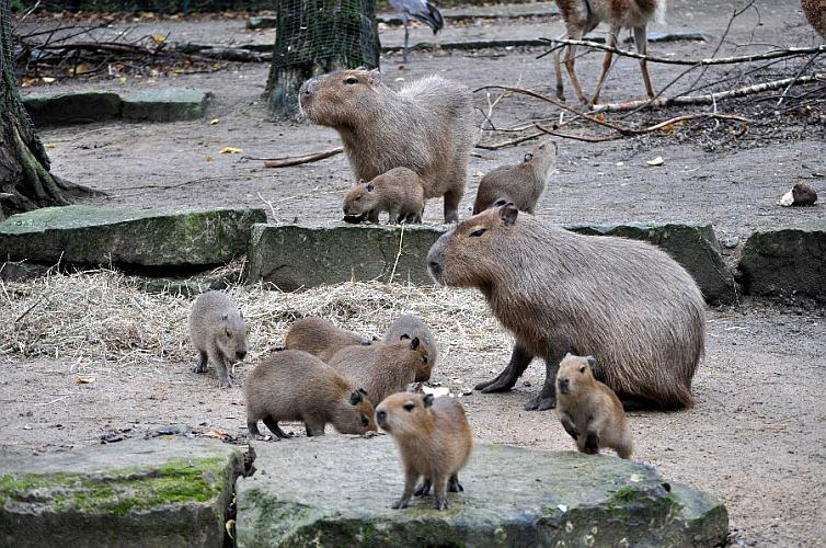 Wasserschweine im Zoo Hannover