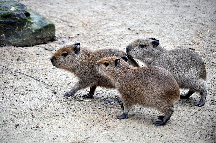 Drei kleine Schweinchen im Zoo Hannover