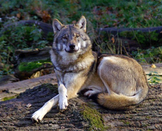 Wolf im Wisentgehege