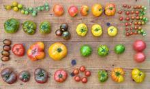 Tomatenvielfalt (Foto: BUND Hannover)