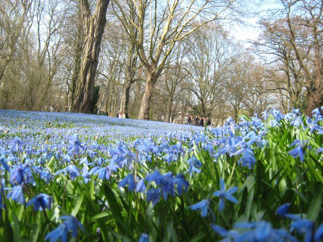 Scillablüte im Frühjahr