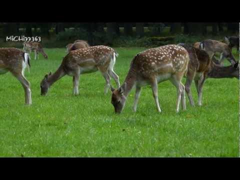 Damwild Rehe und Wildschweine im Tiergarten Hannover im Herbst