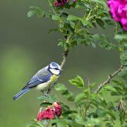 Kopfüber hängen sie mitunter an den Zweigen: Die lebhaften Blaumeisen lieben Gärten mit alten Bäumen (Foto: F. Hecker)