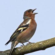 Die meisten Buchfinken leben in Wäldern, aber auch in baumbestandenen Gärten sind sie oft zu Gast (Foto: F. Hecker)