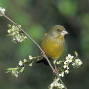 Im Sommer 2009 sorgte ein auffälliges Grünfinken-Sterben für Schlagzeilen – Werden dieses Jahr weniger dieser hübschen Vögel brüten? (Foto: F. Hecker)