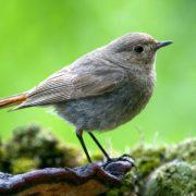 Er ist einer der ersten Zugvögel, die zu uns zurückkehren: Der heiser-singende Hausrotschwanz (Foto: Fotonatur)