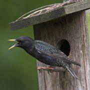 Kann die Stimmen anderer Vögel perfekt nachahmen: Der Star (Foto: F.Hecker)