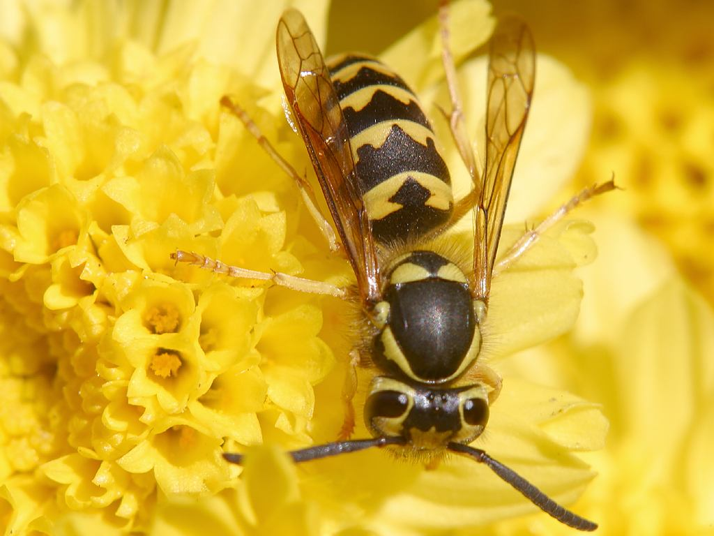 Wespe (Quelle: wikipedia.de)