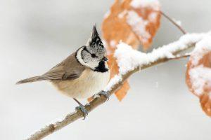 Stunde der Wintervögel: Haubenmeise