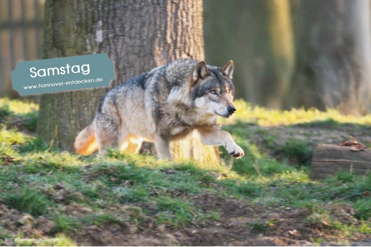 Wolfsabend im Wisentgehege Springe
