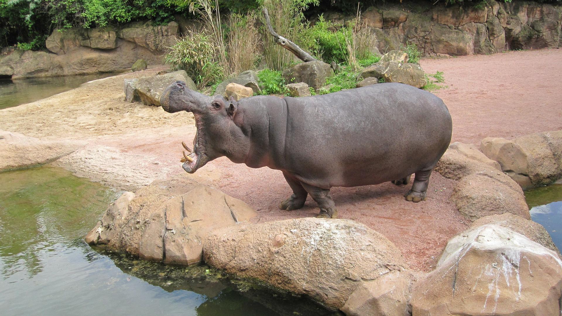 Nilpferd im Zoo Hannover
