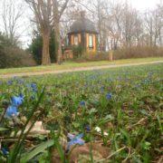 Scillablüte auf dem Lindener Bergfriedhof